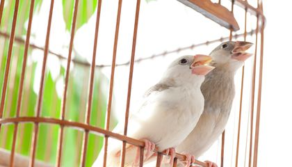 These Sparrows Sing to the Beat of Their Own Drum