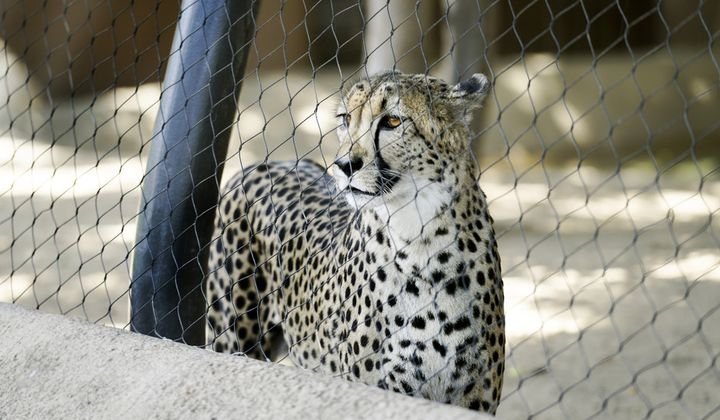 Why Cheetahs Hate Cages