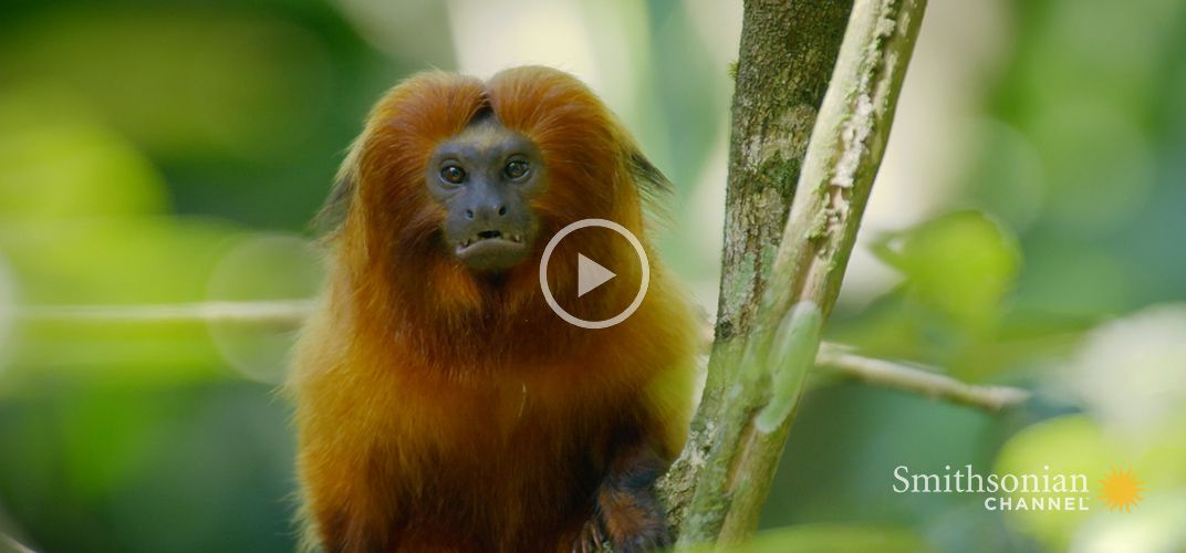 Caption: Amazing Adaptation That Keeps Tamarin Numbers Up