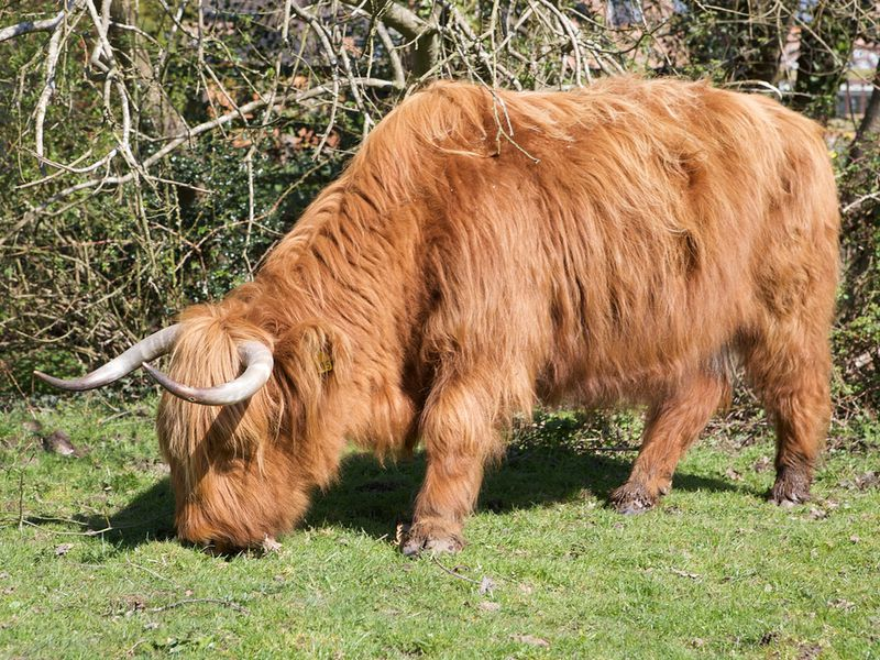The introduction of cows changed the diet of ancient Britons