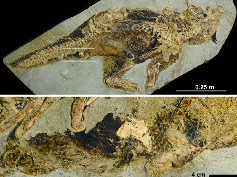 A view of the full fossilized dinosaur above another image of a closer view of the fossilized cloaca