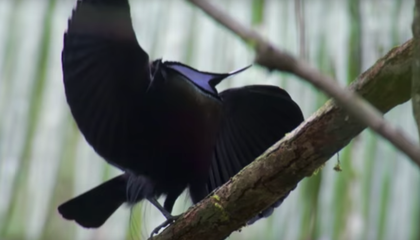 Scientists Shine New Light on the Blackest Black Feathers