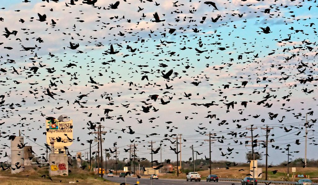 The Texas Gulf Coast is a great place to witness the bird fallout phenomenon.