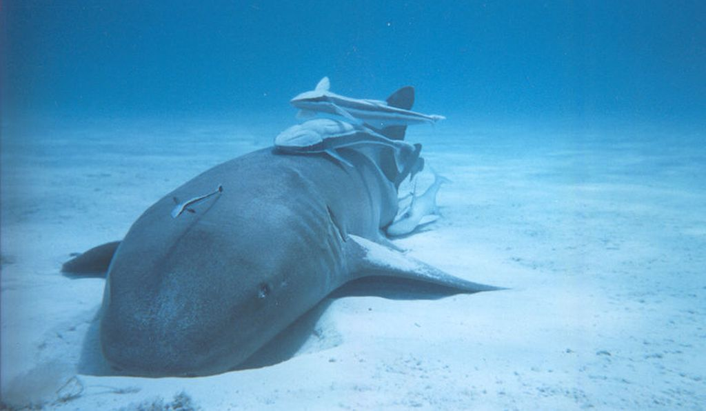 Nurse shark with remoras in the Bahamas.