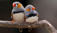 Zebra Finches Dream a Little Dream of Melody
