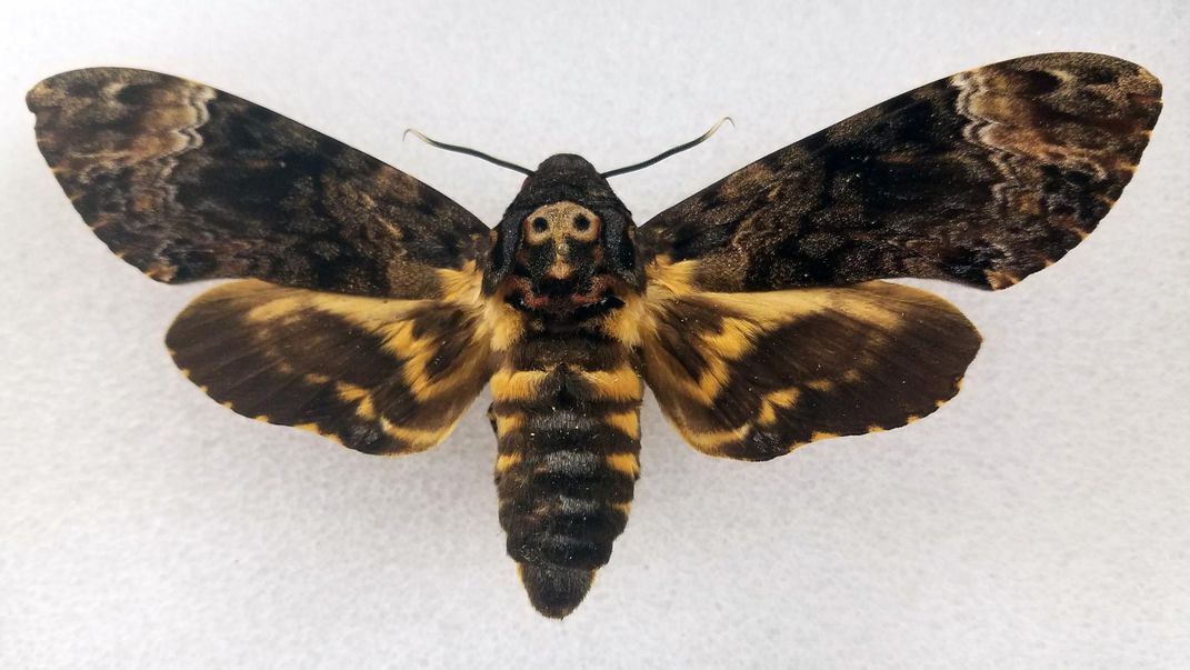 Preserved death's-head hawkmoth on a white background