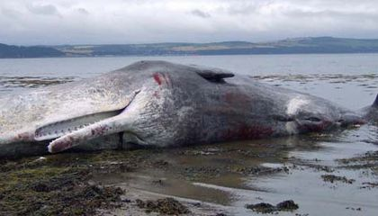 How to Humanely Euthanize a Whale