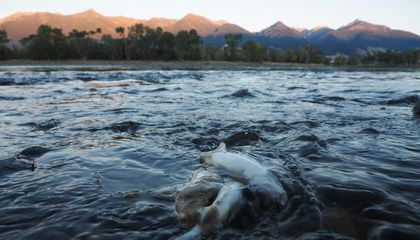 The Massive Yellowstone Fish Die-Off: A Glimpse Into Our Climate Future?