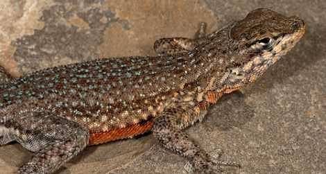 A side-blotched lizard in Utah