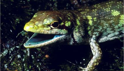 These Lizards Evolved Toxic Green Blood