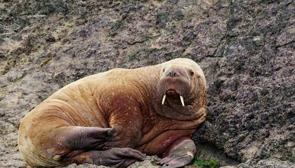 How Did This Walrus Get to Wales?