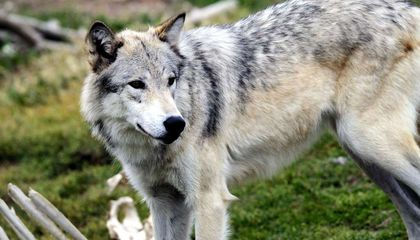 Wolves to Lose Protection in Idaho and Montana