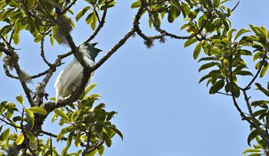 Follow Smithsonian Migratory Bird Center scientists as they discover the unknown migrations and movements of various species, including species native to dense tropical forests in Brazil like the Bare-throated bellbird (Procnias nudicollis).