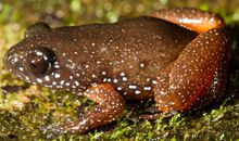 Newly Discovered Starry Dwarf Frogs Are Lone Species of an Ancient Lineage
