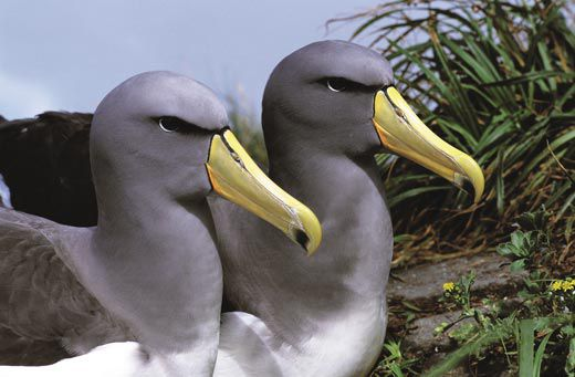 The Amazing Albatrosses Science Smithsonian Magazine