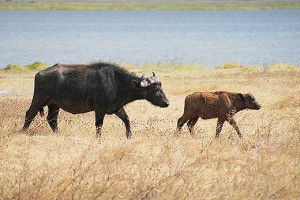 20110520102256Cape-Buffalo-and-calf-520-300x200.jpg