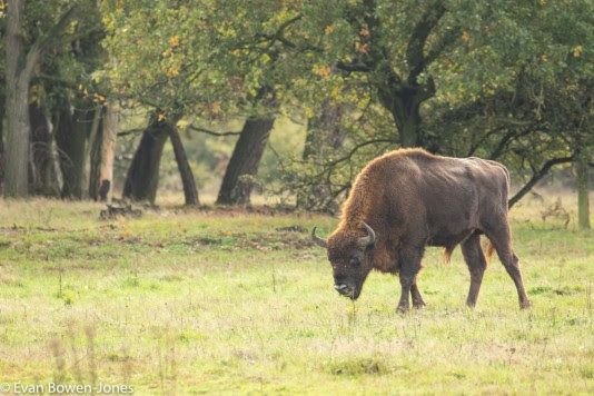 Wild Bison to Roam Britain for First Time in Thousands of Years