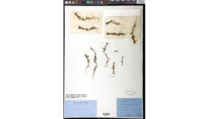 Before its residence at the Smithsonian's National Museum of Natural History, this pressed plant (Cyananthus macrocalyx subspecies spathulifolius) was housed at London's Natural History Museum where it survived a bombing during World War II (Photo Credit: Ingrid P. Lin, Smithsonian).