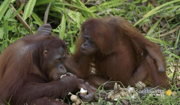 Preview thumbnail for video'A Shy Orangutan Shares Her Breakfast With a Friend