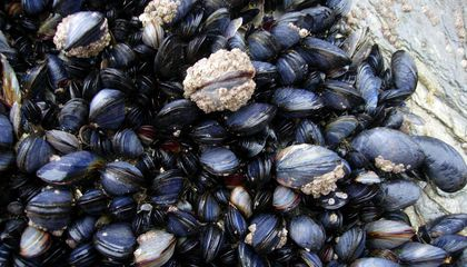 Glue Made of Mussel Slime Could Prevent Scarring