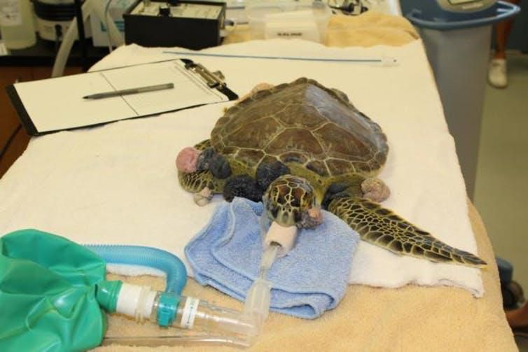 Remi preparing for his tumor removal surgery at the University of Florida's Whitney Sea Turtle Hospital.