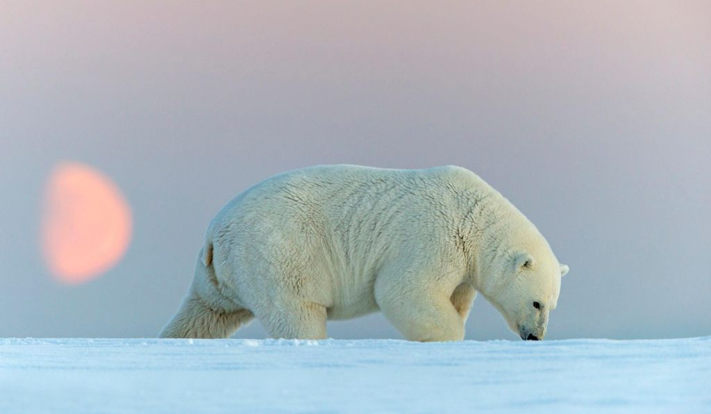 Polar bears can also be spotted in Alaska and elsewhere in the Arctic Circle. They're the largest carnivorous land mammals on the planet.