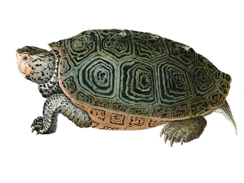 How the Turtle Got Its Shell, With Apologies to Aesop