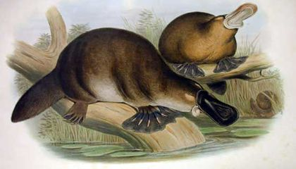 Many Animals, Including the Platypus, Lost Their Stomachs
