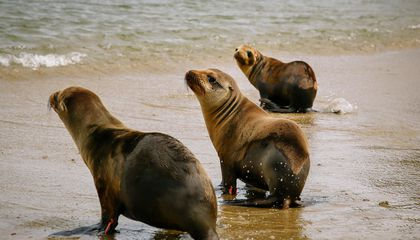 California Sea Lions Are Starving, But Do They Need Our Help?