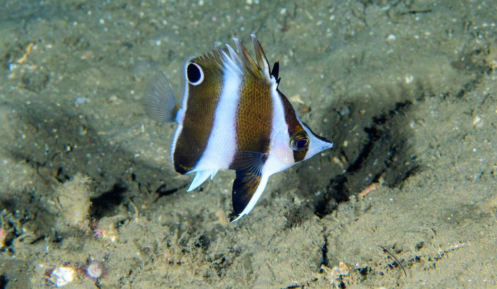 A new species of butterflyfish discovered by the California Academy diving team.