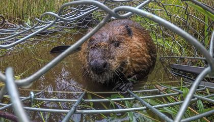 Scientists Are Relocating Nuisance Beavers to Help Salmon