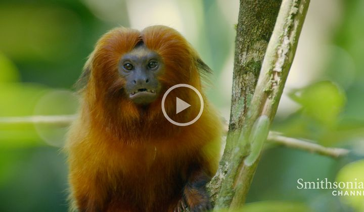 Amazing Adaptation That Keeps Tamarin Numbers Up