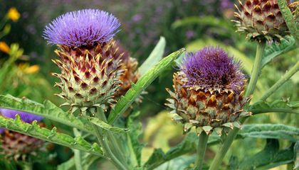 What the Heck Do I Do With a Cardoon?
