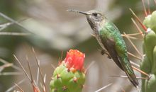 Hummingbirds in the Andes Go to Chilly Extremes for a Good Night's Sleep