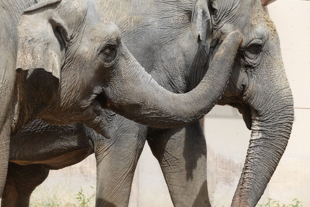 A close-up of two female Asian elephants. The elephant on the left uses her trunk to touch the face of the elephant on the right.