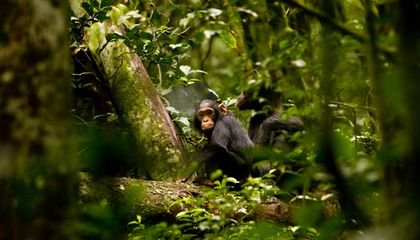 Chimps Caught in First Known Nighttime Crop Raids