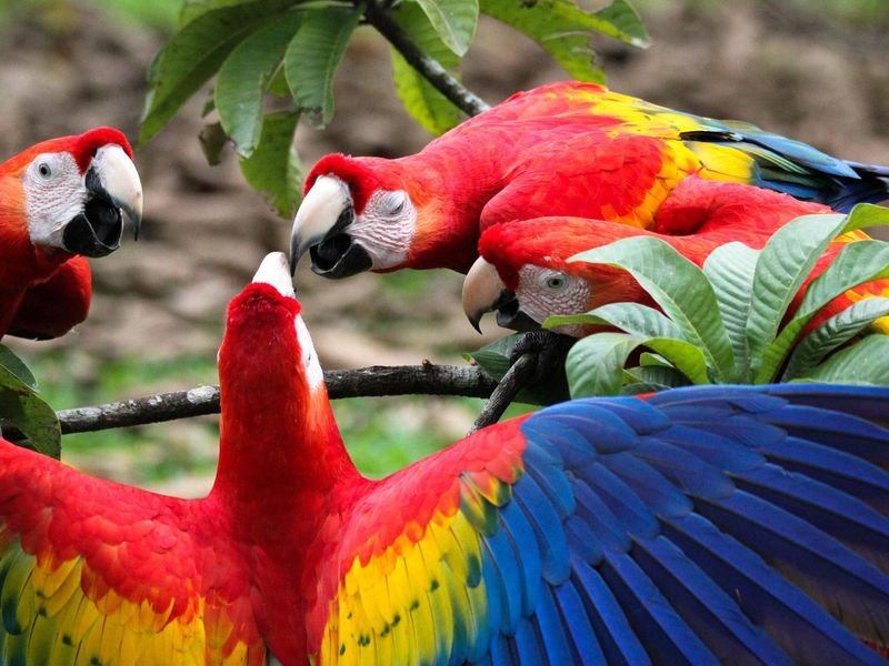 a macaw breeding center supplied prehistoric americans with prized