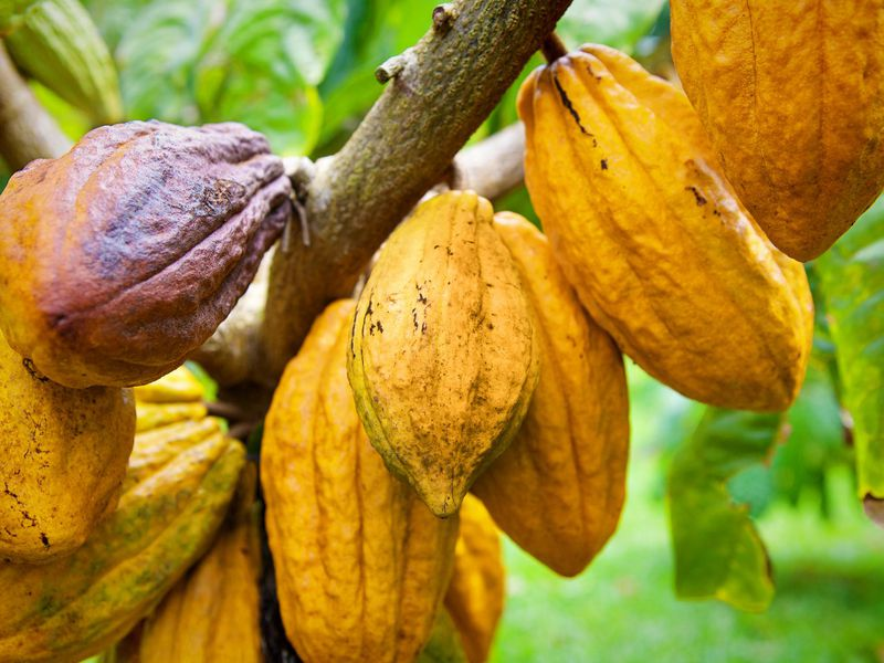 How Hawaii Became the North Pole of Cacao | Travel | Smithsonian
