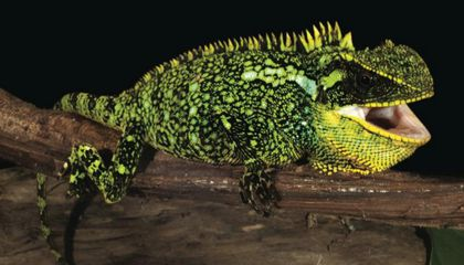 New Dwarf Dragons Have Been Found in the Andes