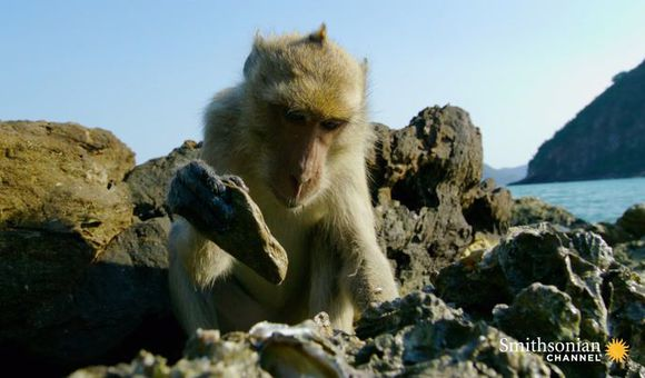 Preview thumbnail for video'Don't Be Jealous of These Oyster-Slurping Beach Monkeys