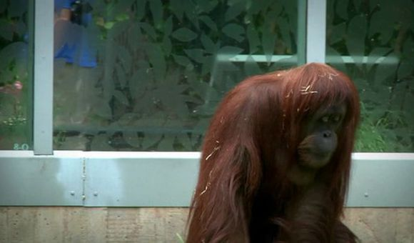 Preview thumbnail for video'Working With Orangutans