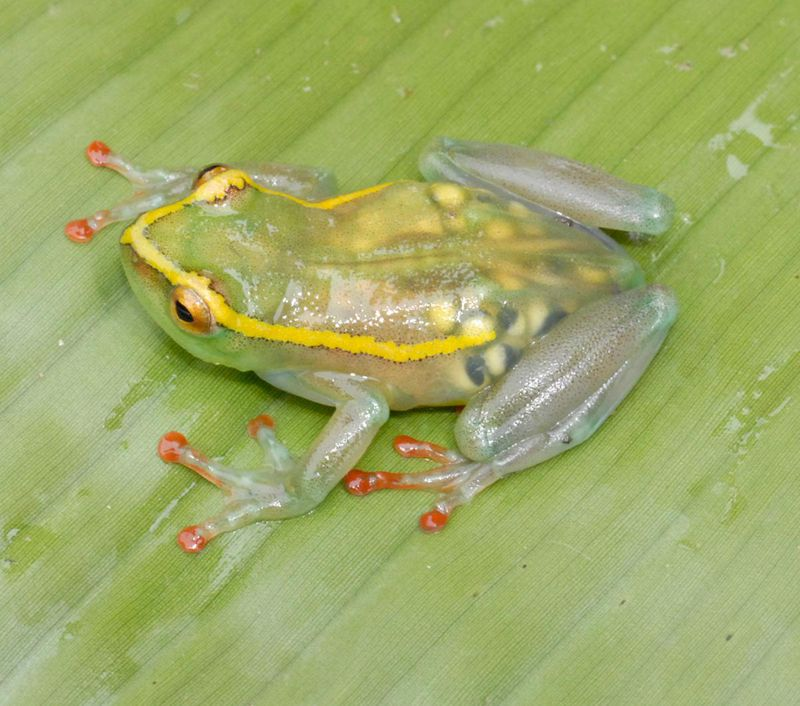 2c98f41c0b66e1 ... translucent frog (Hyperolius leucotaenius) is one of five amphibian  species Greenbaum and his team rediscovered in 2011 in the remote Congolese  forests.