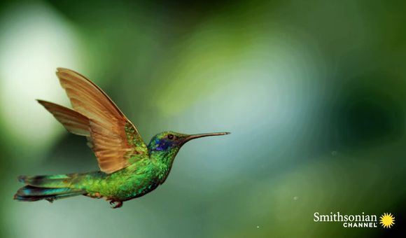 Preview thumbnail for video'Stunning Slo-Mo Footage of Hummingbirds Hovering in Air