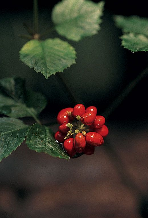 Getting to the Root of Ginseng | Science | Smithsonian
