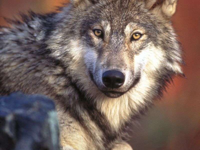 Gray wolves were occupying territories throughout Idaho last year, but the overall population fell.