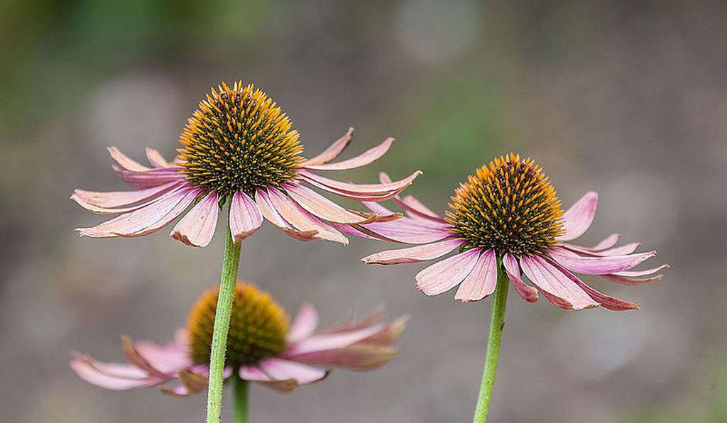 Coneflowers are one example of a pollinator-friendly East Coast native.