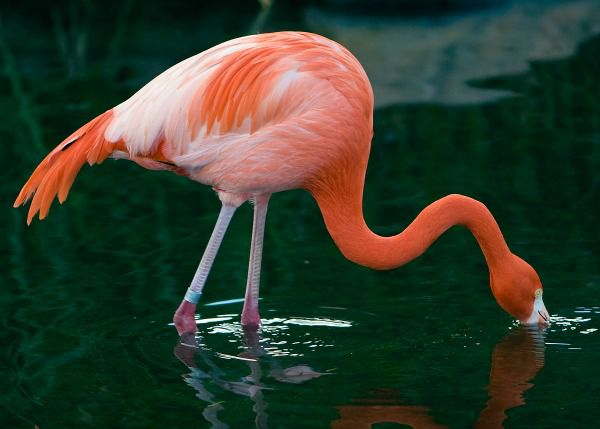 Flamingos depend on plant-derived chemical compounds to color their feathers, legs and beaks.