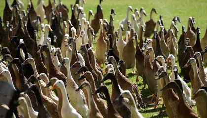 An Army of Hungry Ducks Keeps This Historic South African Vineyard Pest-Free