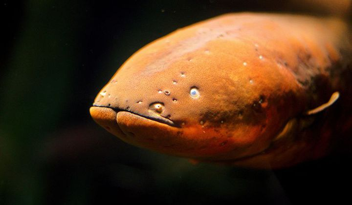 Electric Eels Inspire A New Type of Battery