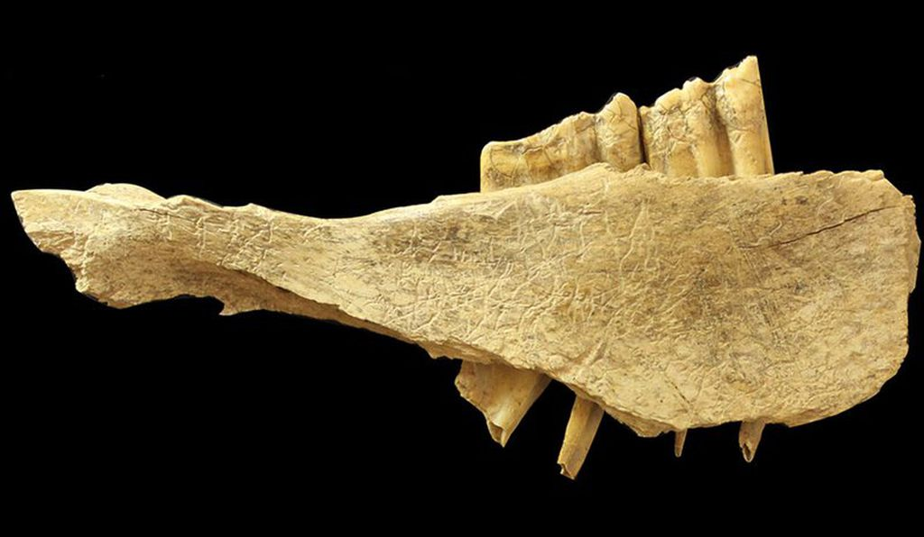 This horse mandible, found in Yukon's Bluefish Caves, appears to be marked by traces of stone tools. It might prove that humans came to North American 10,000 years earlier than previously believed.